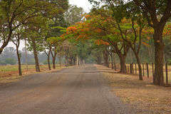 Trees Path Araraquara Sao Paulo Brazil. A trees path with red blooming flowers in a typical quiet country road in Brazil Stock Photography