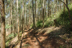 Trees Path Forest Plantation Royalty Free Stock Photo