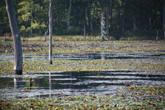 Trees Peeking Through Swamp. Trees grow out from a swamp. The surface of the swap is covered in Lily pads. In the background a dense forest can be seen. The Stock Photos