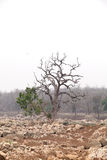 Trees in pench river bed, pench tiger reserve Stock Image