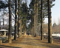Trees in perspective view at Nami Island, Korea royalty free stock photo