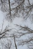 Trees photographed vertically. as they close. Winter. royalty free stock images