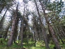 Trees in pine forest. Scenery of beautiful pine tree forest royalty free stock photography