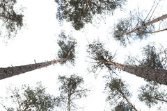 The trees in the pine forest against the blue sky. The trees in the pine forest against the sky stock photos