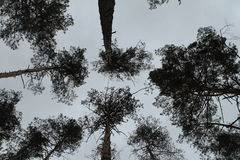 The trees in the pine forest against the blue sky. The trees in the pine forest against the sky royalty free stock photos