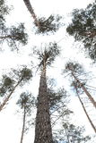 The trees in the pine forest against the blue sky. The trees in the pine forest against the sky stock photo