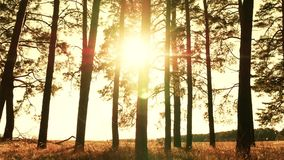 Trees in a pine forest against a sunset background. The rays of the sun pass through the branches of trees. 4k stock video footage