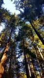 Trees in pine forest national park. Reflexion front of the big pine trees Stock Photography