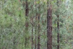 A Pine Forest. Trees in a pine forest near Jerusalem, Israel royalty free stock images