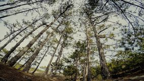 Trees in the pine forest. Slender trees in the pine forest stock video footage