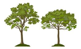 Trees Pine and Maple. Summer Landscapes, Trees Pine and Maple on the Green Grass, Isolated on White Background. Vector stock illustration
