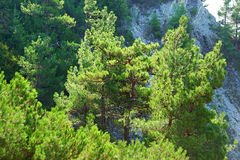 Trees pine on rocks Royalty Free Stock Photos