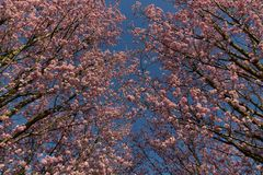 Pink blossom under a clear blue sky, showing spring is coming royalty free stock images