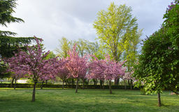 Trees with pink flowers in spring Stock Image