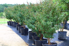 Trees in Plant Nursery. A line up of crape myrtle trees lined up in a row at a plant nursery Stock Image