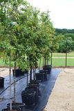Trees in Plant Nursery Royalty Free Stock Images