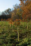 Trees planted for conservation. Rows of protected oak trees planted for soil conservation Stock Photography