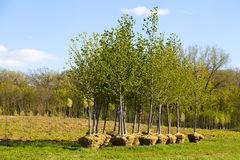 Trees Planting Royalty Free Stock Photo