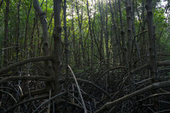 Trees and plants in the mangrove forest of Thailand. Roots and branches of trees in the mangrove forest of Thailand Stock Photo