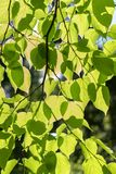 Tree leaves in a sun royalty free stock photography