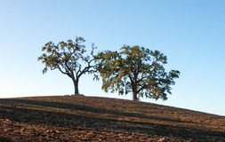 Trees in plowed field in Paso Robles Wine Country Scenery Stock Images