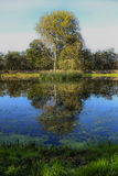 Trees and pond. Reflection of tree in pond Stock Image