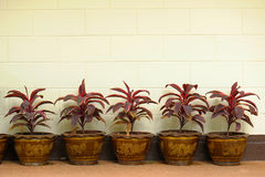 Trees in pots Stock Images