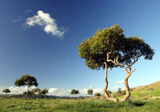 Trees at Pukekohe. WA image of odd-shaped trees dotted around rural pastureland, New Zealand royalty free stock image