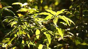 Trees in the rain forest with sunlight, Doi inthanon national park chiangmai Thailand.  stock footage
