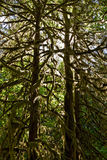 Trees in rainforest Royalty Free Stock Photos