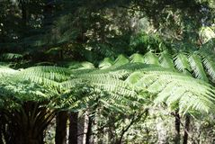 Trees in Rainforest. Trees in the rainforest.  Lush growth of tall tree ferns in this cool and beautiful rainforest.  The forest was full of many varieties of Stock Photos