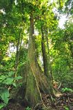 Trees in the rainforest. Of Sabah Borneo Malaysia Stock Images