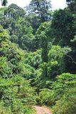 Trees in the rainforest. Of Sabah Borneo Malaysia Royalty Free Stock Image