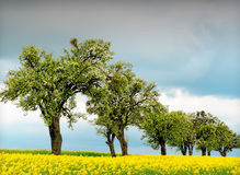 Trees and rapeseed Royalty Free Stock Image