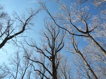 Trees reaching the sky Royalty Free Stock Image