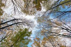 Trees reaching to the sky. Autumn trees reaching to the sky. Specific angle looking up the sky giving a misterious feeling. Different and unique photo of the top royalty free stock images