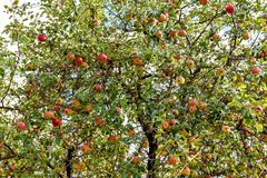 Trees with red apples in an orchard. Red apples on apple tree branch Royalty Free Stock Image