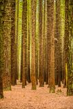 Trees in a red wood forest Stock Images