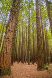 Trees in a red wood forest Royalty Free Stock Images