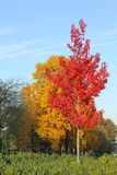 Trees red yellow leaves blue sky, autumn fall impressions Royalty Free Stock Photography