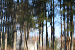 Trees Reflected in Pond. Pine trees reflected in a pond with ripples Royalty Free Stock Photography