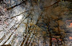 Trees Reflected in a Puddle Stock Image