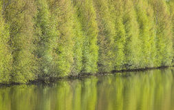 Trees reflected in water. Spring blossoming trees reflected in water Royalty Free Stock Photos