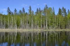 Trees reflected in water. A line of trees with straight, pale trunks being reflected in the calm water of a small lake in Andebu Norway Royalty Free Stock Photo