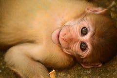Laying Monkey Stock Photos