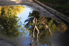 Trees reflecting in puddle of rain water Stock Photos