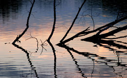 Trees reflecting on water. Closeup of silhouetted, withered trees reflecting on water at sunset Stock Photography
