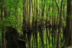 Trees reflecting on marsh Royalty Free Stock Photo