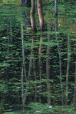Trees reflection in green pond. Forest trees reflection in green silent pond Royalty Free Stock Photography
