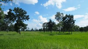 Trees in rice field. Trees in a rice field in Thailand stock video footage